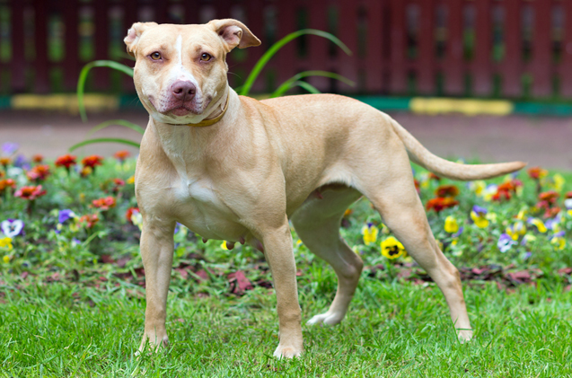 Do You Need to Know about Pit Bull Terrier Dog Breed?